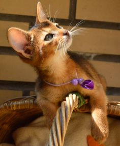 No not a mountain lion A ruddy Abyssinian kitten Captivating Cats Animals And Pets, Baby Animals, Cute Animals, Somali, Siamese Cats, Cats And Kittens, Abyssinian Kittens, Exotic Cats, Matou