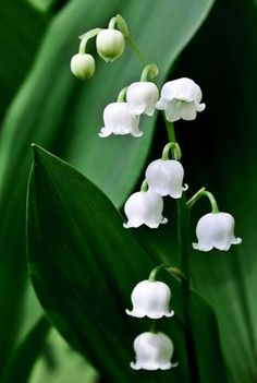 Lily of the valley