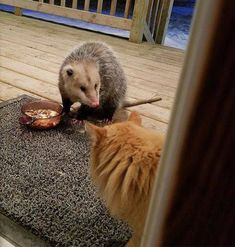 Cat's Reaction To Possum Stealing Her Food Gets Better With Every Pic - We Love Cats and Kittens Funny Cat Memes, Funny Cat Videos, Dog Memes, Funny Dogs, Hilarious, Funny Facts, Transformers, Why Are You Laughing, Friends Time