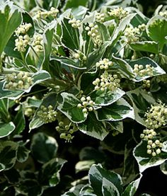 Photinia is a popular evergreen shrub with glossy green leaves photinia is a popular evergreen shrub with glossy green leaves white flowers and young red shoots the best known of the photinias is photinia f mightylinksfo