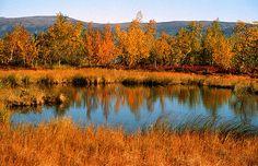 Lappi saa paljon kävijöitä syksyn aikaan. Kaikki tulevat katsomaan Lapin ruskaa. Se on hieno näky! Tehnyt Aada Hello Autumn, Autumn Fall, Finland, Earth, Seasons, Mountains, Gallery, Green, Colors