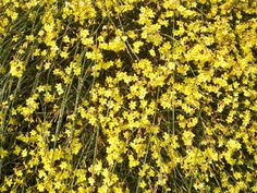 WINTER FLOWERING SHRUBS - Winter jasmine (Jasminum nudiflorum) blooms in January, making it a great candidate for creating a mid-winter color splash on retaining walls and banks. Hardy in USDA Zones to 10 Winter Plants, Winter Flowers, Winter Colors, Winter Garden, Ground Covers For Sun, Best Ground Cover Plants, Ground Cover Plants Shade, Shade Flowers, Shade Plants
