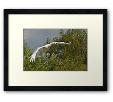Swan in Flight - Coming into Land Framed Print