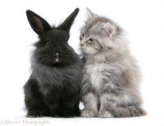 black and white maine coon kittens › gondalgandul. Lionhead Rabbit, Pet Rabbit, Rabbit Pen, Pretty Cats, Beautiful Cats, Pretty Kitty, Animals And Pets, Cute Animals, Rabbit Photos