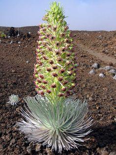 Ahinahina (Argyroxiphium sandwicense subsp. macrocephalum), Haleakala National Park, Maui, Hawaii