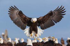 Bald eagle spreads its wings to land amid a large group of bald eagles. Kachemak Bay, Homer, Alaska, USA, Haliaeetus leucocephalus, Haliaeetus leucocephalus washingtoniensis, natural history stock photograph, photo id 22681