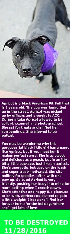 SAFE 11-28-2016 by Second Chance Rescue --- Brooklyn Center My name is APRICOT. My Animal ID # is A1097255. I am a female black am pit bull ter mix. The shelter thinks I am about 1 YEAR I came in the shelter as a STRAY on 11/18/2016 from NY 11207, owner surrender reason stated was STRAY. http://nycdogs.urgentpodr.org/apricot-a1097255/