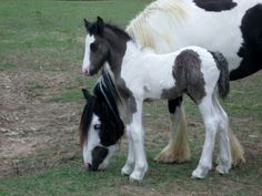 Storm Chaser a sweet colt from Gypsy MVP