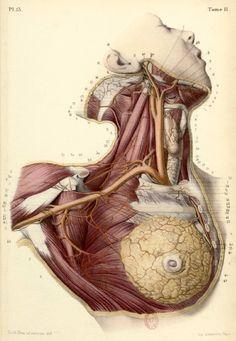 ☤ MD ☞☆☆☆ BONAMY, Constantin (b.1812), Paul BROCA (1824-1880 https://www.pinterest.com/pin/287386019946528537/), and Émile BEAU (b.1810). Atlas d'Anatomie Descriptive du Corps Humain, Paris, [1844-46]. Tome II. Pl. 13.