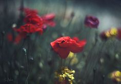 flowers ph:Ariadna Belkina Poppies, Flower Photography, Nature, Plants, Colour, Flowers, Animaux, Landscapes, Color