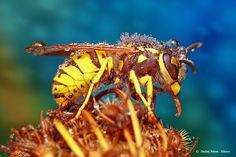 Dewy Wasp