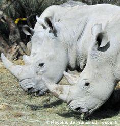 Les rhinocéros de la réserve africaine de Sigean