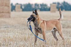 比利时马林诺斯犬,或马里努阿犬 The Belgian malinois is a medium-to-large breed of dog, sometimes classified as a variety of the Belgian Shepherd dog rather than as a separate breed. Belgian Dog, Belgian Malinois Puppies, Belgian Shepherd, Shepherd Dog, German Malinois, Malinois Belga, Belgium Malinois, Smartest Dog Breeds, Dog Breeds Pictures