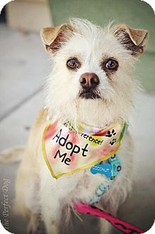 Milpitas, CA - Border Terrier/Terrier (Unknown Type, Medium) Mix. Meet Coconut a Dog for Adoption.