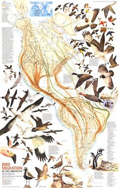 Bird Migration In The Americas Map 1979 by National Geographic from Maps.com.