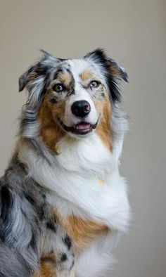Australian Shepherd by allie