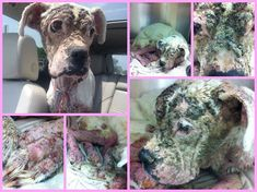 Neglected boxer rescued in Texas! Please help Osha!! She needs donations badly!! Click pic for link to help and donate! If you can't donate, please share!!