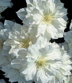 Klematis 'Isago': (Clematis x hybrida) Denna återblommande klematis får stora, fluffiga, vita blommor först på fjolårskott i maj-juni, senare enkla blommor på årskott i augusti-september. Behöver bara putsas lätt på våren, tillhör beskärningsgrupp 2. Plantera i skyddat, soligt läge. Planteras i vanlig trädgårdsjord med rothalsen under markytan. Härdig till zon 3-4.