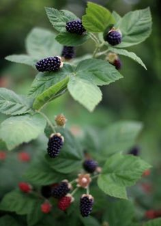 Pruning Blackberry Bushes: How And When To Prune Blackberry Bushes