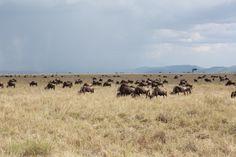 https://musicbirdblog.files.wordpress.com/2013/12/2013_11_25-wildebeest-migration-serengeti-112a8794.jpg
