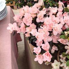 pink blooms for the studio ♡ @shopterrain #willtaketheseplease #delicate #pink #nature #flowers #studio #blooms #simplepleasures #terrainatstyers #zorie #zoriestudio #zorieliving  http://instagram.com/zoriedesign www.zorie.com