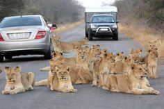 MANE'S ROAD BLOCKED Incredible photograph shows pack of lions and cubs blocking traffic in South Africa Parc National Kruger, Lion Family, Cat Steps, Tourism Day, Lion Pride, Cat Sitting, Large Animals, Cat Memes, Funny Animals