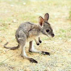 Kangaroo--I get to see these running around in the wild in 6 months!!!!