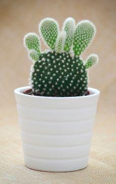 A orelha de coelho, opúntia ou palma brava é uma suculenta que fica muito bonita se cultivada em vasos isoladamente ou em composição com outras cactáceas e suculentas.