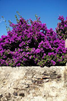 Stock-Fotografie: Flowers Malfa Salina Island Aeolian islands Sicily Italy