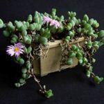 Braunsia maximiliani - Beads Lampranthus | World of Succulents