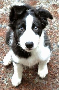 Border collie puppy gives perfect puppy dog eyes ❤ Last one guys. #BorderCollie