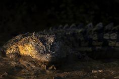 Estuarine Crocodile by Jassi Oberai on 500px   www.lightchasers.in  #crocodile #wildlife #Bhitarkanika #Odisha #photography #Canon #Canon7DMarkII #LightChasers #JassiOberai