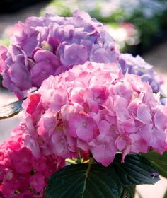 Beautiful pink and purple hydrangea blooms