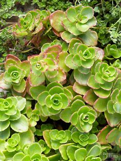 Need a hardy creeper? Or, how about a colorful tall plant for back of the border? Look no further than the sedum family.