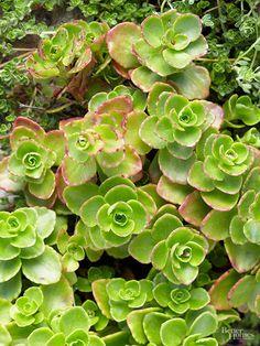15-plantas-para-inviernos-duros-01 sedum