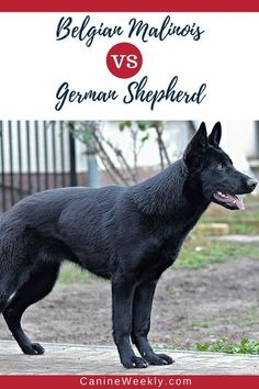 Belgian Malinois and German Shepherds are very similar dogs, who have comparable physical attributes and personalities. Click here to find out the most important similarities and differences between these two giant dog breeds. #canineweekly #cooldogbreeds Top Dog Breeds, Giant Dog Breeds, Giant Dogs, Best Dog Breeds, Large Dog Breeds, Belgian Malinois, German Malinois, Malinois Shepherd, Malinois Dog
