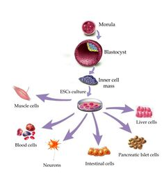 stem cell therapy for neuromuscular diseases intechopen Classification Of Humans, Improve Kidney Function, Adipose Tissue, Hormone Replacement Therapy, Stem Cell Therapy, Dialysis, In Cosmetics, Blood Cells