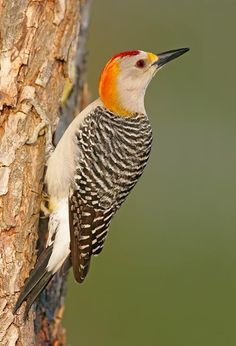 Golden-Fronted Woodpecker - Melanerpes aurifrons - This North American bird of the family Picidae is found from Texas and Oklahoma, in the U.S., south through Mexico to Honduras and northern Nicaragua