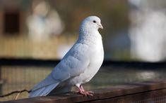 Cute butterfly nice HD wide wallpaper | Cute white pigeon bird image | HD Wallpapers Rocks