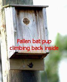 If you make a bat house please also consider installing a pup (baby bat) catcher.  http://www.batworld.org/bat-house-pup-catcher/