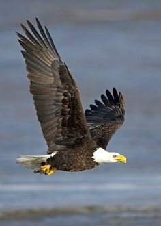 Bald Eagle in flight By gary samples This photo was taken on February 3, 2011 using a Canon EOS-1Ds Mark II.