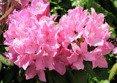Providing interest all year long, Rhododendron 'Olga Mezitt' is a small-leaved, early midseason Rhododendron which enjoys an abundant floral display of dome-shaped trusses of about 12 clear pink flowers in late spring.