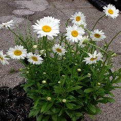 OnlinePlantCenter 1 Gal. Dwarf White Snowcap Shasta Daisy Plant-L845G1 - The Home Depot