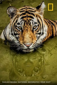 """A tiger is the largest cat species, solitary in nature, National Geographic Photography, National Geographic Photos, Cat Species, King Photo, King A, Shot Photo, Your Shot, Predator, Big Cats"