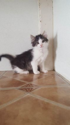ADOPTED - Fat Jimmy - URGENT - located at MARION COUNTY HUMANE SOCIETY in Fairmont, WV - Young Male Domestic Long Hair
