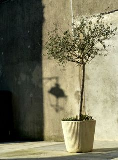 Olive tree in the spring sunlight.