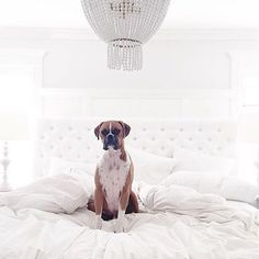 Good morning! @nachocilantro is ready to go outside and enjoy the sunshine!  by @jillian.harris  Check out the Stephanie bed and Jacqueline Chandelier on our website for details on this beautiful bedroom.