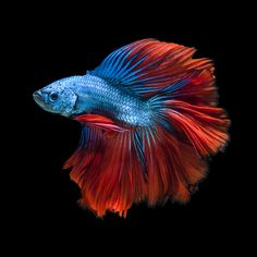 Capture the moving moment of red-blue siamese fighting fish by Jirawat Plekhongthu on 500px