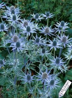Eryngium Sapphire Blue (Sea Holly)  --  I want one of these
