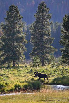 bull moose, bull, moose, rocky mountain national park, colorado, kawuneeche valley, , photo